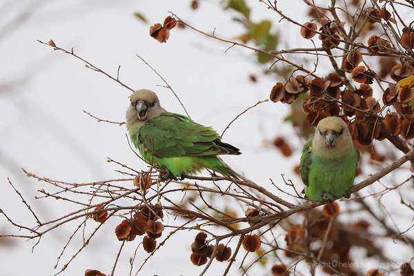 Kruger 12: Brown-headed parrot