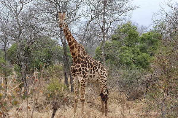 Kruger 14: Giraffe