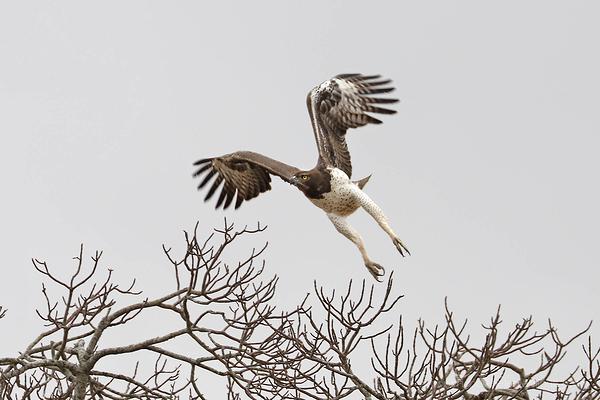 Kruger 15: Martial Eagle