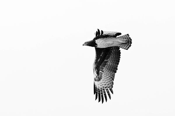 Kruger 16: Martial Eagle