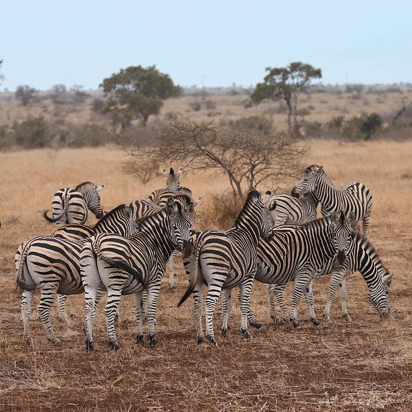 Kruger 18: Zebra