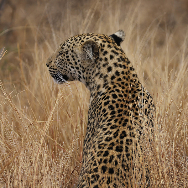 Kruger 19: Leopard in the grass