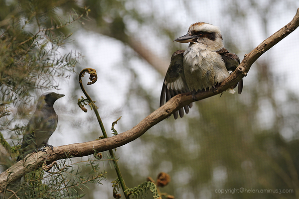 *** .... said the Kookaburra to the Noisy Miner