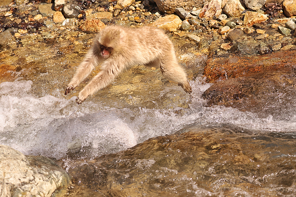 Monkey leaping river