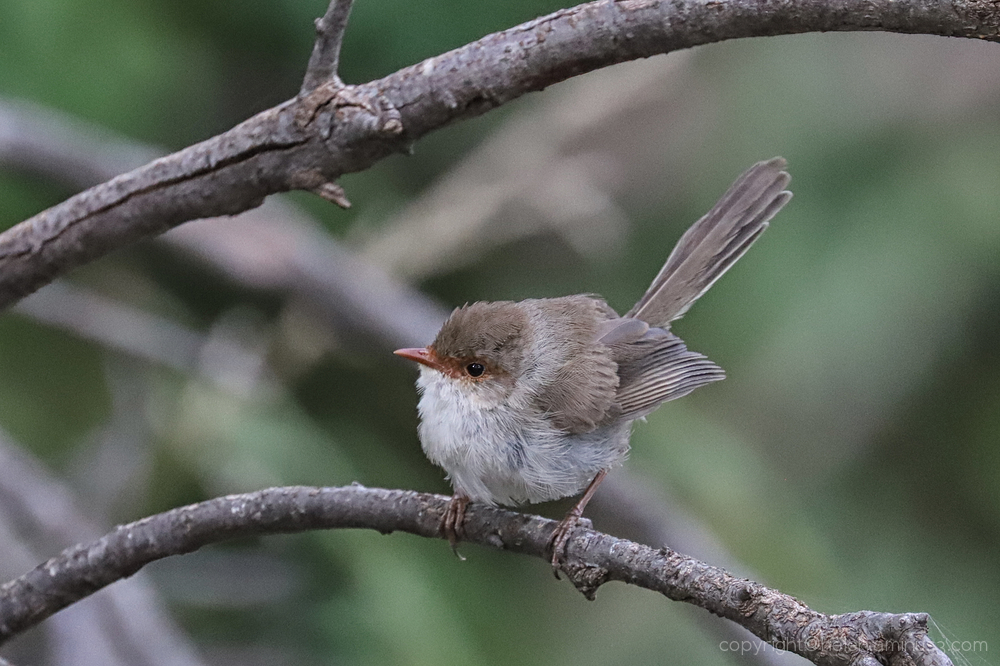 Female fairy wren