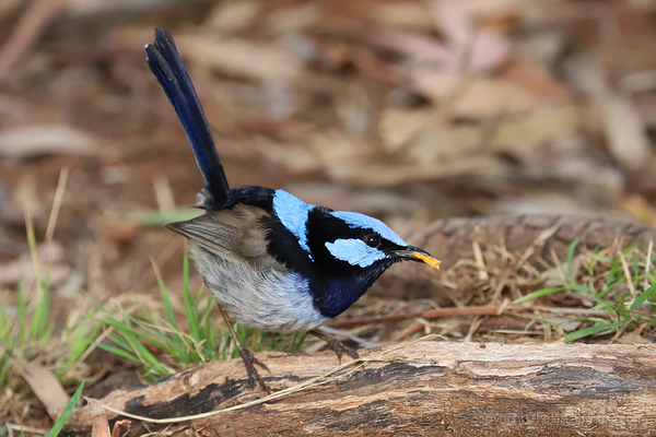Blue Fairy Wren