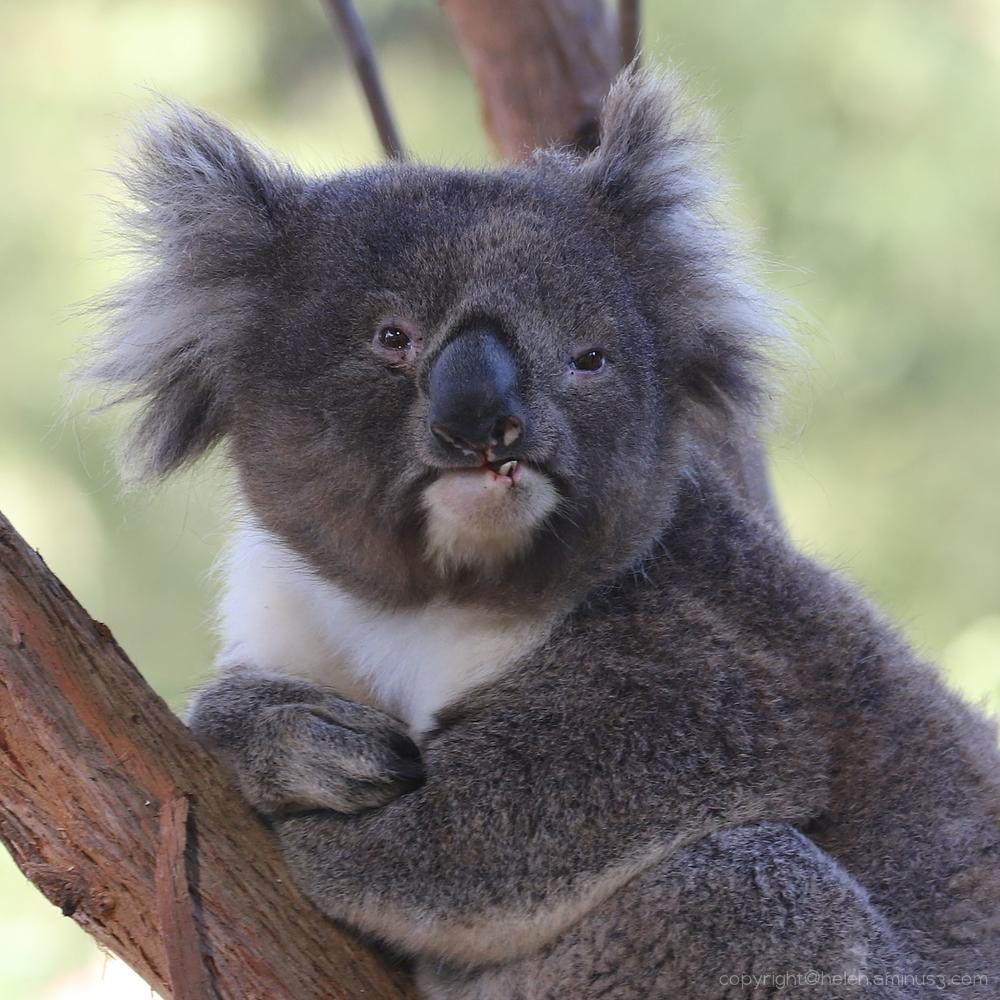 Rescued Koala