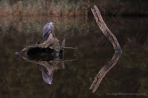 A heron reflecting ...