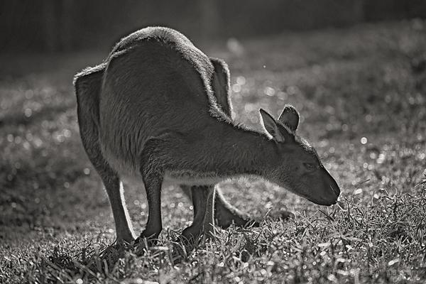 Kangaroo grazing