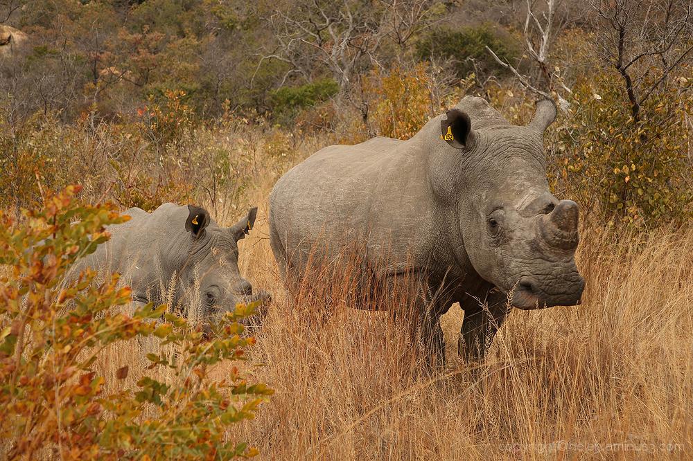 Matabo rhinos