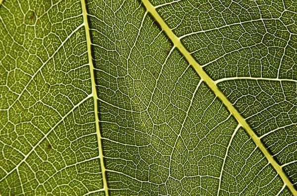 Chlorophyll ..