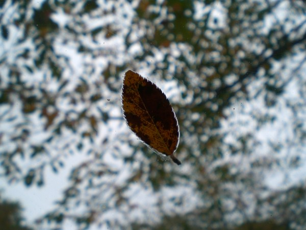 cherry leaf on windshield