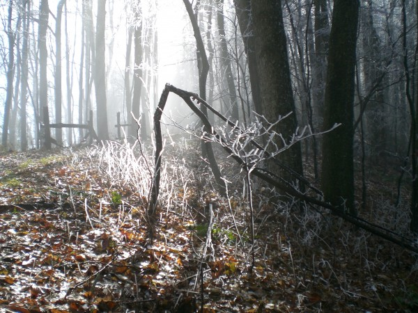 hoarfrost in woods