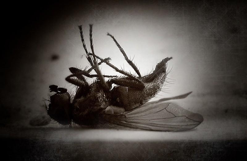 Dead fly.