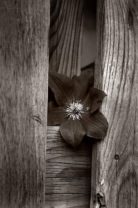Flower Emerging from Fence