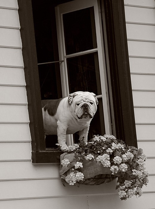 Dog in window.