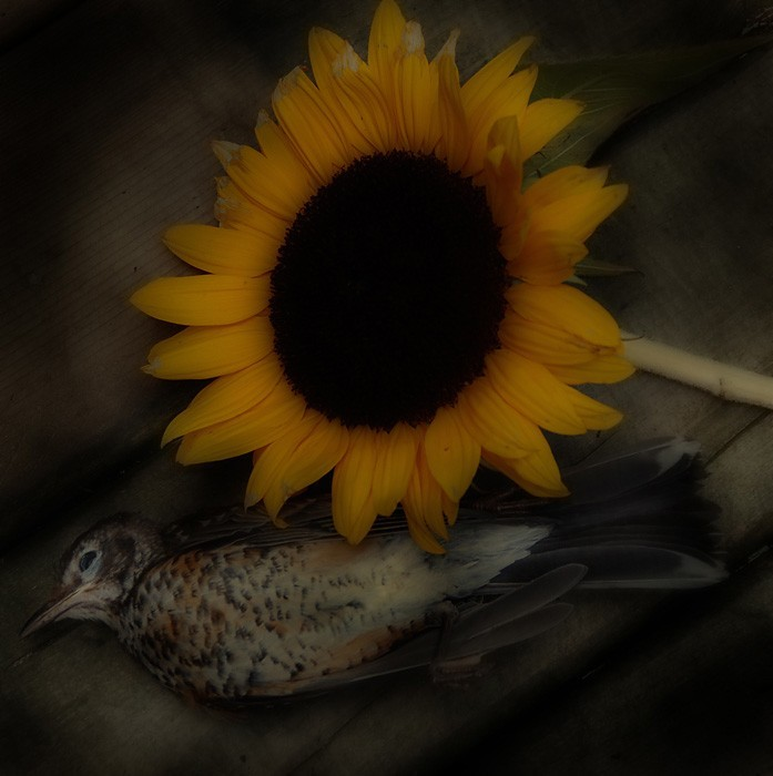 Bird and sunflower.