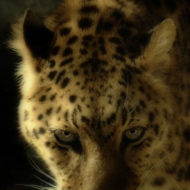 photo of leopard
