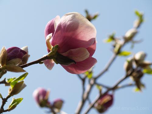magnolia à la tulipe