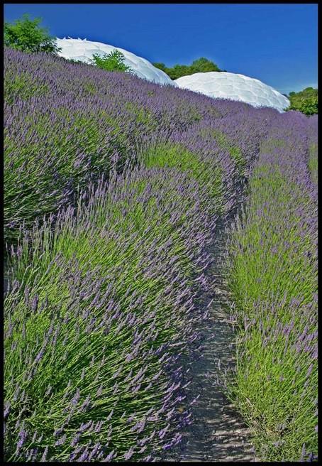 Lavender at Eden