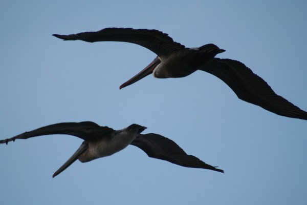 Pelicans at Pacific Grove