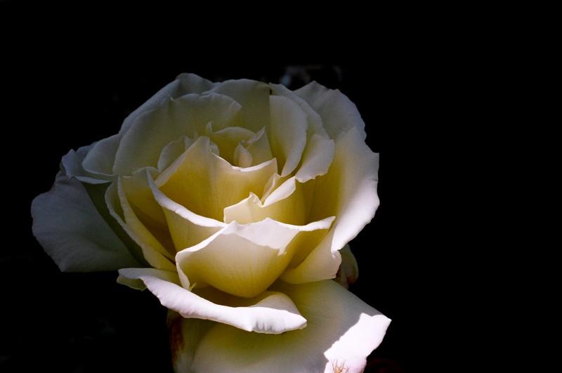 White Rose in Film