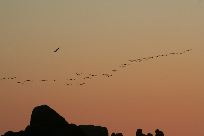 Flock of Pelicans at Pacific Grove