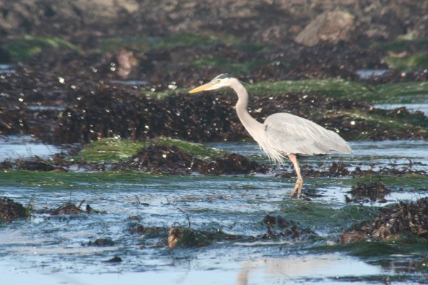 Egret on Pescadero Shore, California