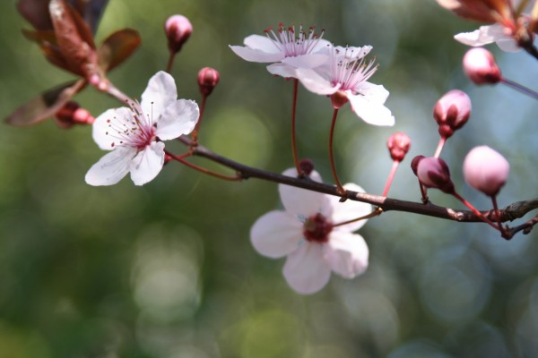 Plum Blossoms in the Garden