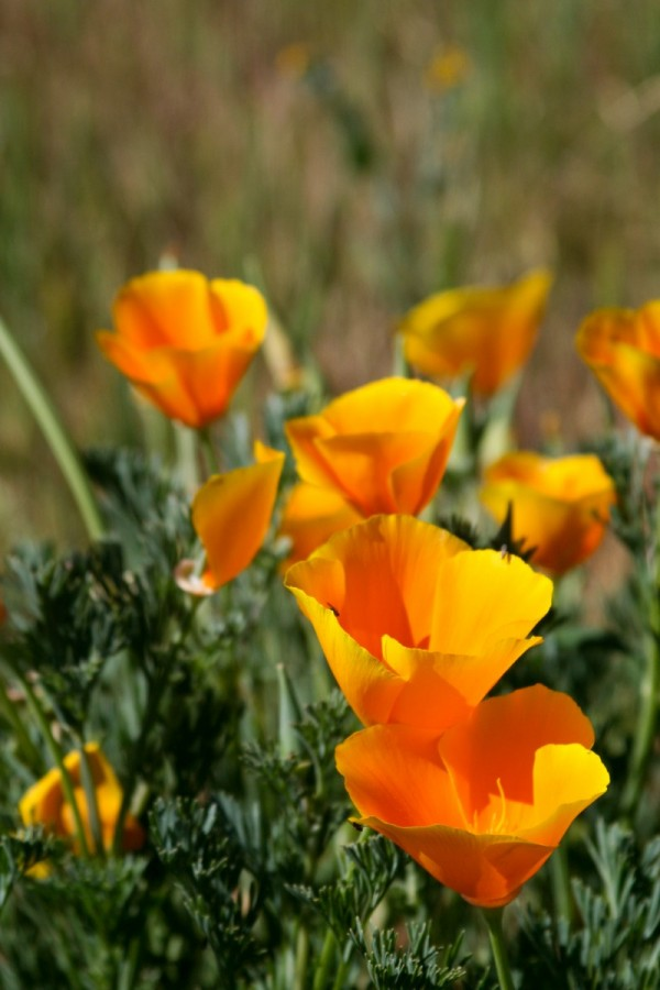 Wild Poppies in the Salinas Valley, California
