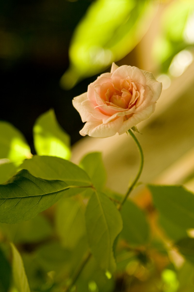 A Rose in Our Garden