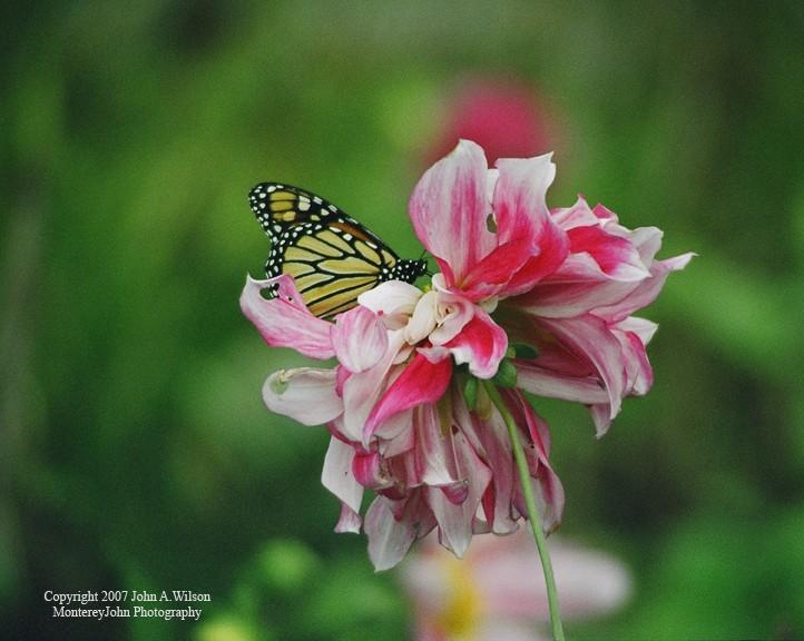 Monacrch Butterfly in a Carmel garden