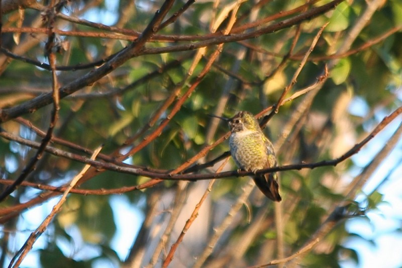 Hummer in the Trees