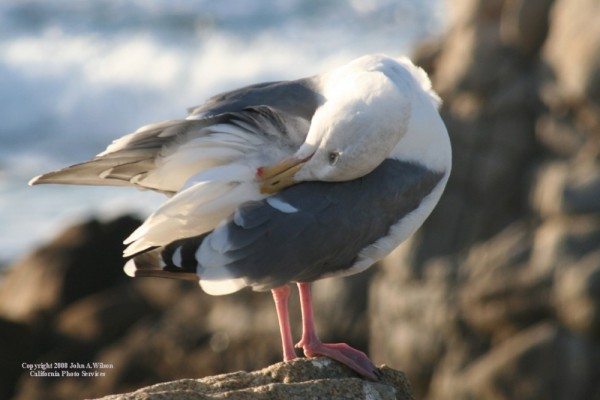 Gull Grooming at Pacific Grove California