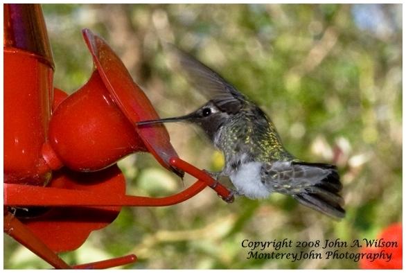 Hummingbird at Backyard Feeder