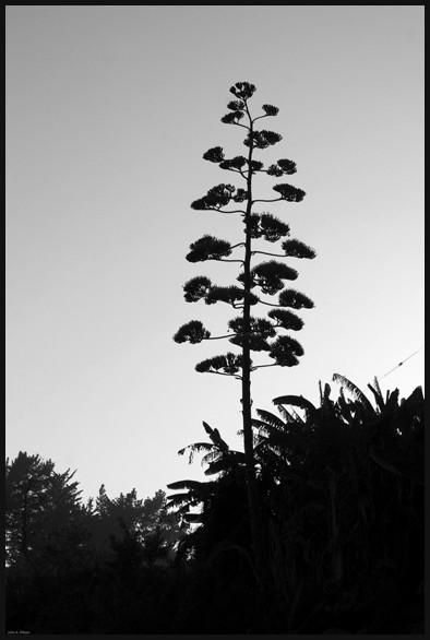 Century Flower at Lucia, Big Sur, California