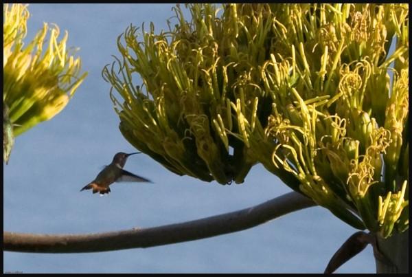 Hummingbird & Century Flower, Big Sur, Ca