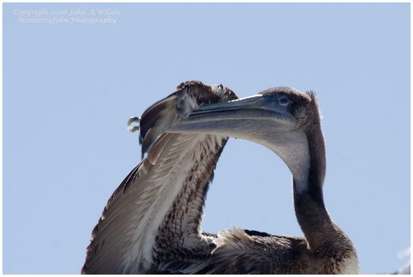 Monterey, CA, Fishermens' Wharf - Pelican
