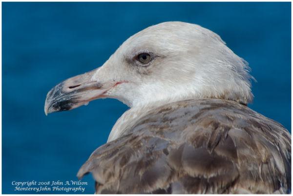 Monterey, CA - Gull Portrait