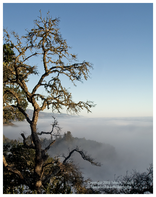 Big Sur live oak above the fog