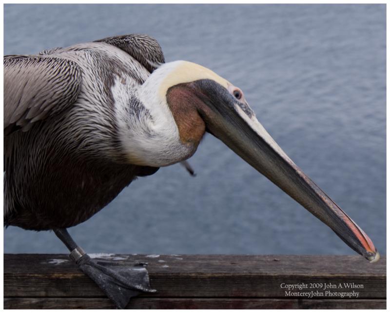 Monterey Bay Pelican