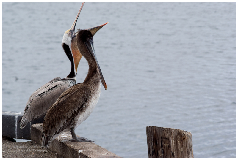 Pelicans at Monterey Bay