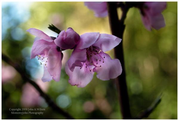 Nectarine Blossom, Macro, Lightroom 2