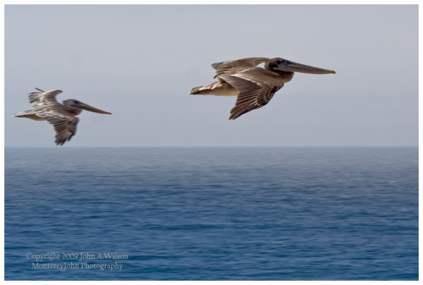 Pelicans over Big Sur