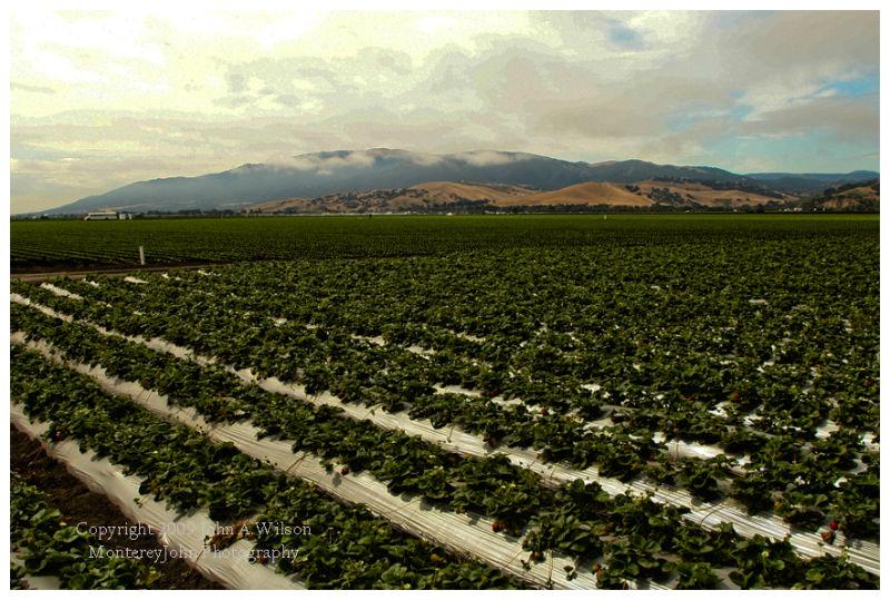 Salinas Valley Strawberry Field