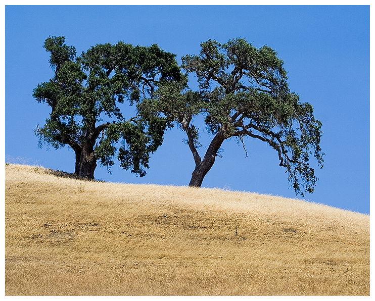 California Live Oaks, Salinas Valley, California