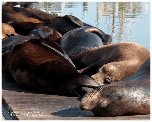 Sea Lions on Wharf at Moss Landing, CA