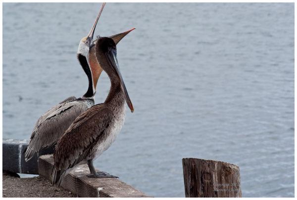 Pelicans at Monterey Bay