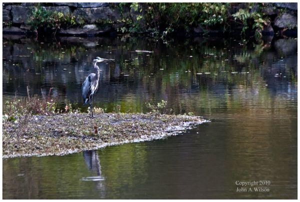 Blue Heron at Waterbury, CY
