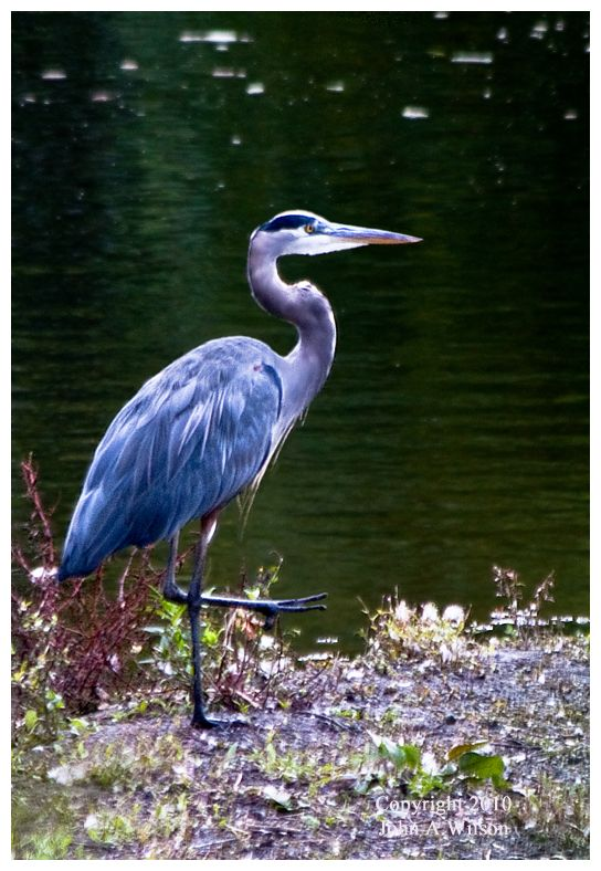 Blue heron in Naugatuck River